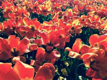 Tulips in the sun — a photo taken the week of the Boston Marathon bombing.